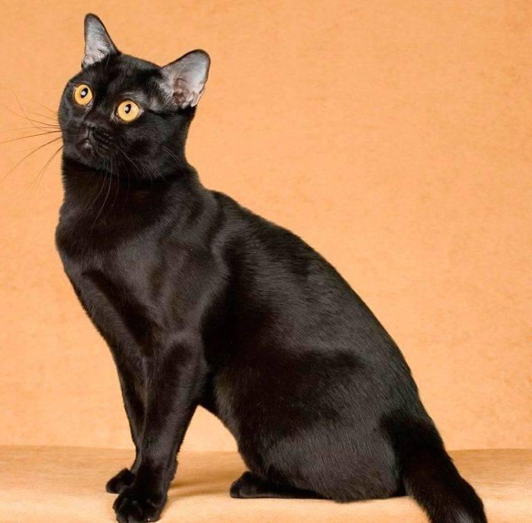 """Бомбейская порода кошек """"бомбей"""" описание характера и 40 фото"""