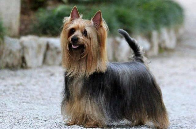 Порода собак австралийский шелковистый терьер