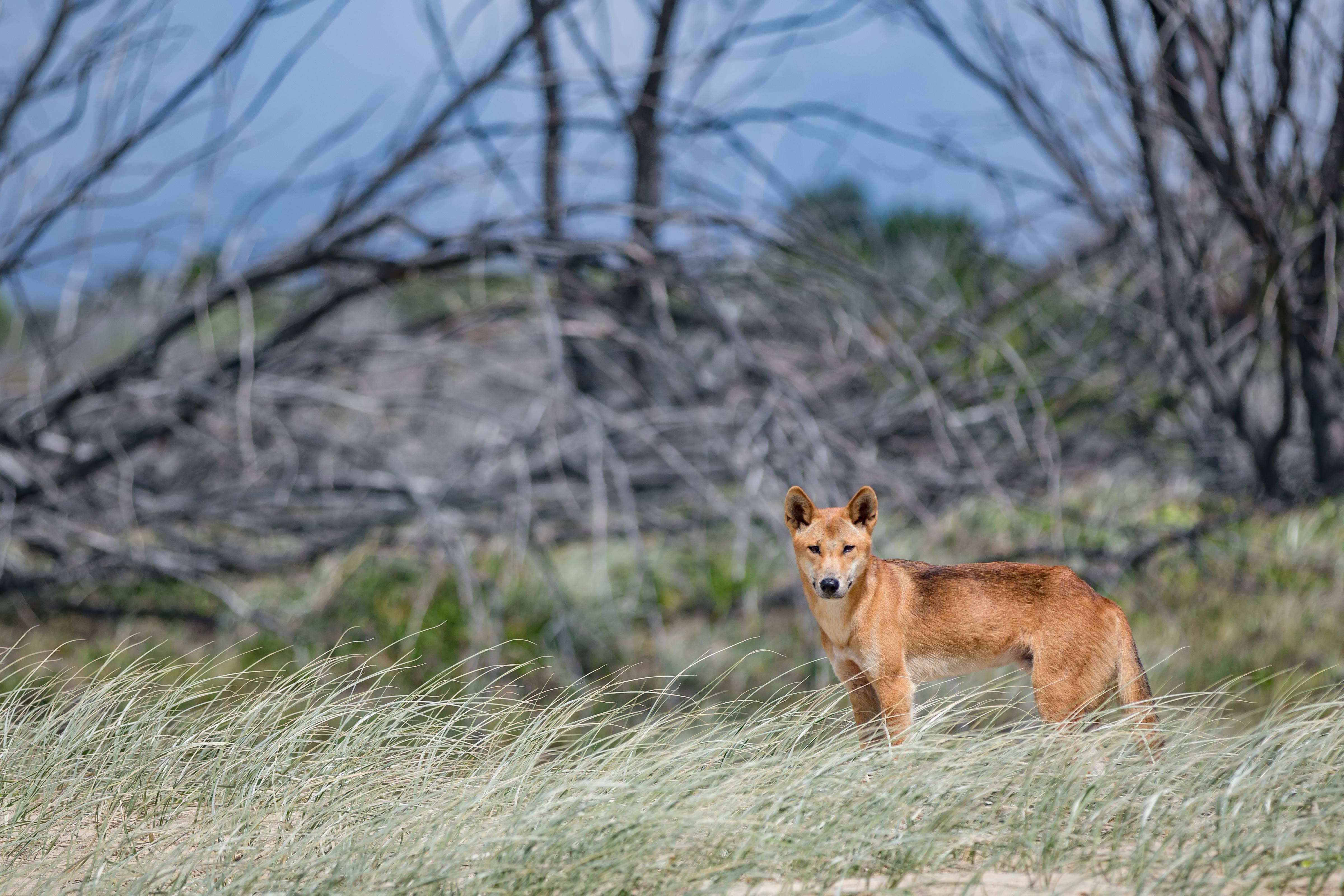 Собака динго: фото, видео и описание породы собак в домашних условиях
