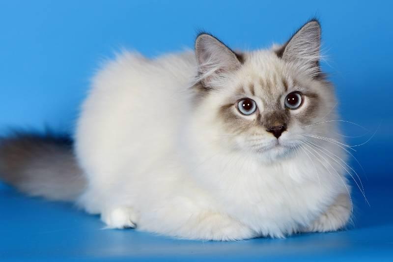 Порода кошек невская маскарадная - как ухаживать за кошкой со сложным характером (140 фото)