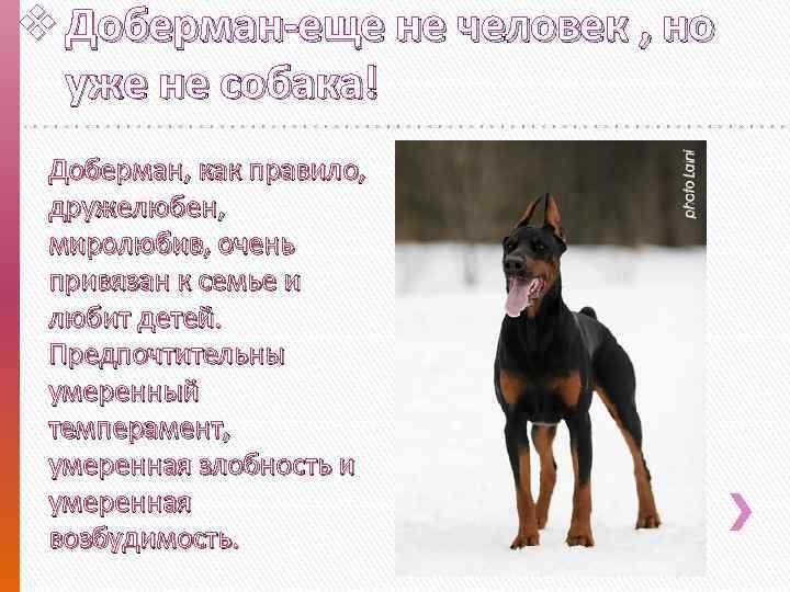 Характеристика собак породы немецкий пинчер с отзывами и фото