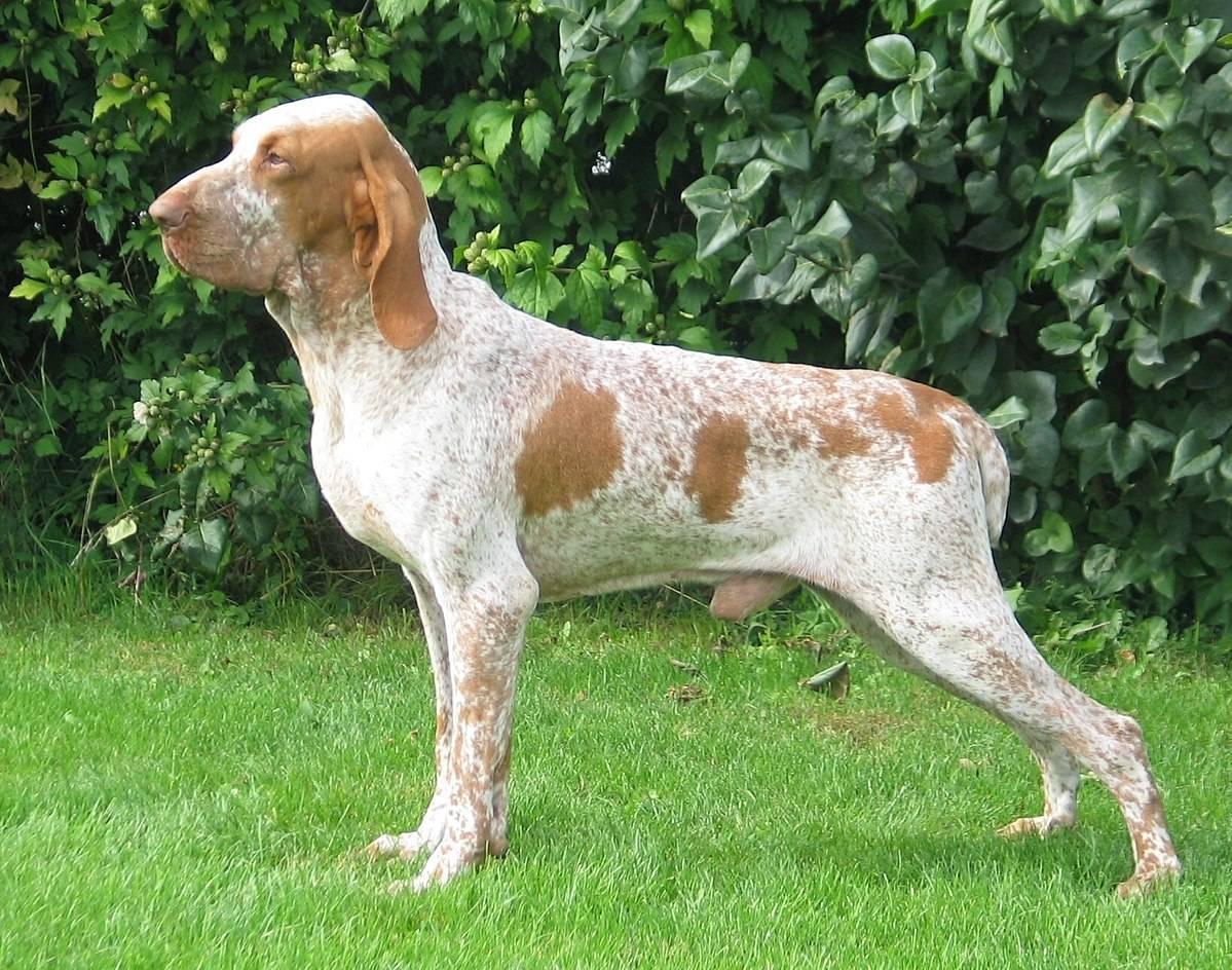 Итальянский волк (лупо итальяно): описание породы собак с фото, видео