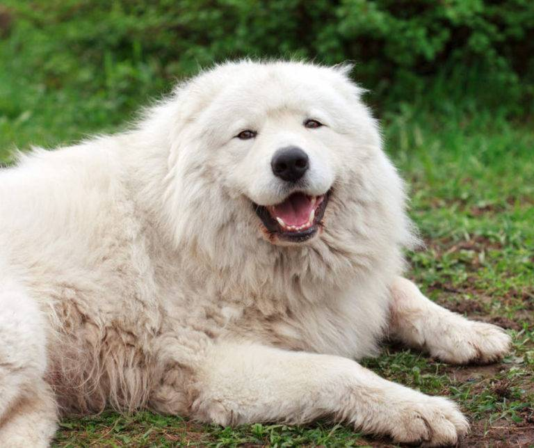 Абруццкая овчарка маремма – грозное животное или преданный полярный медведь?