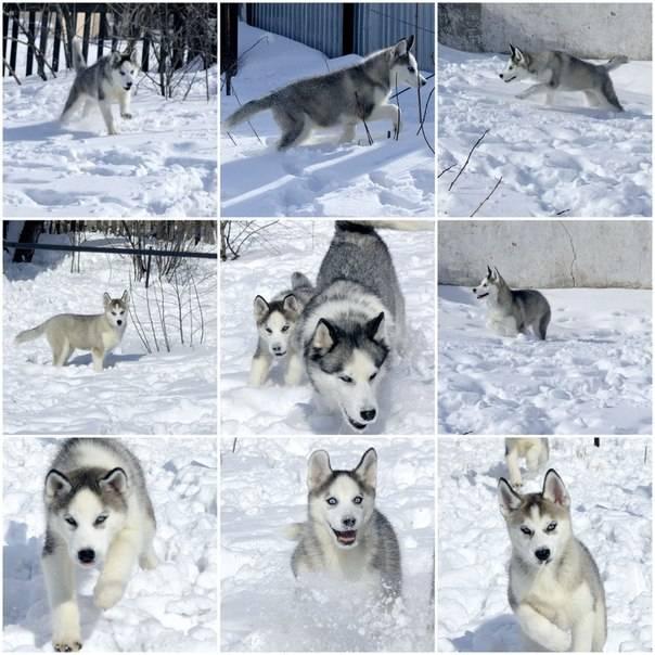 Какие стандарты и характеристики у собак породы хаски