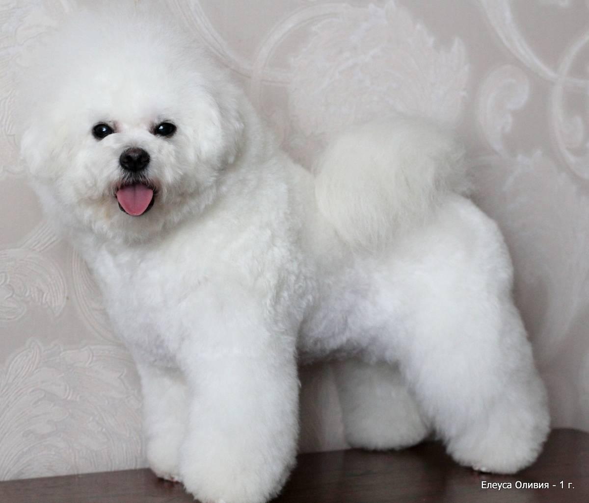 Стандарт собаки бишон фризе
