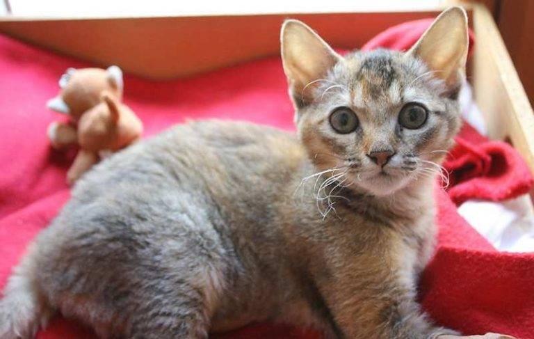 Лаперм: описание кошек, их характер и особенности содержания