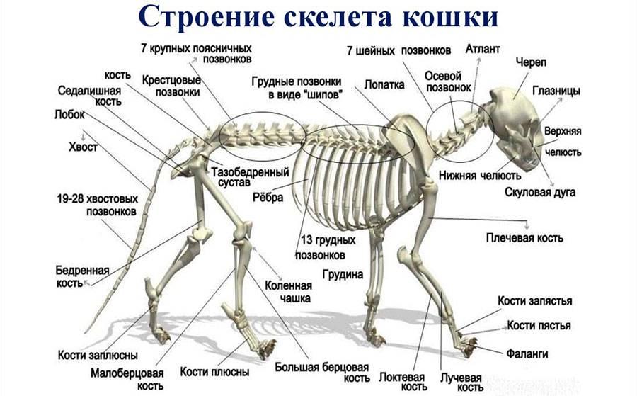 Анатомия и физиология кошки: основные характеристики