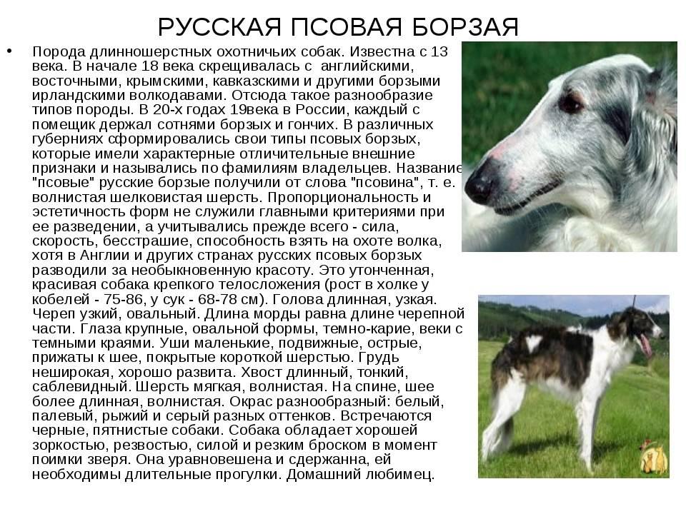 Собаки породы борзая — виды борзых и особенности ухода, их описание и фото