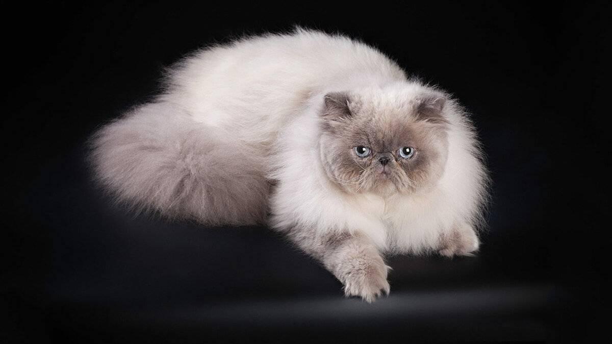 Сиамская порода кошек: описание, характер, фото, уход и содержание, чем кормить | zoosecrets