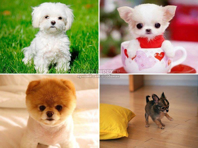 Топ-10 самых маленьких в мире пород собак.