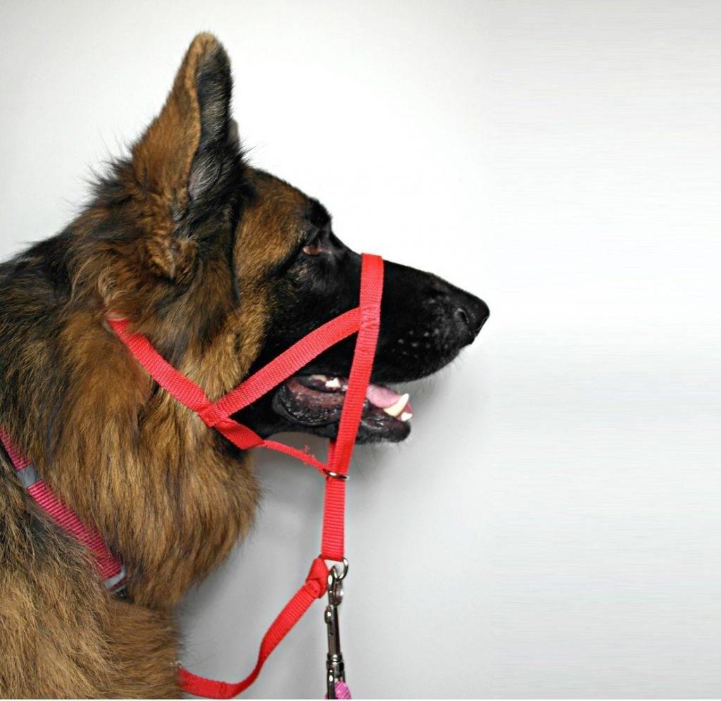 Для чего нужен недоуздок, или халти, для собак: описание приспособления, использование, выбор готового халти или изготовление своими руками