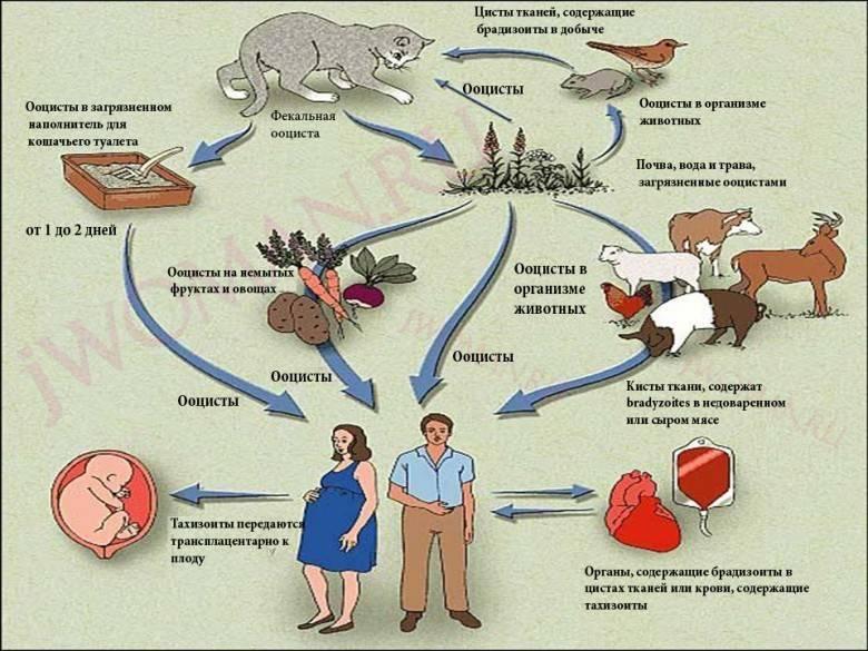 Как передается токсоплазмоз от кошки к человеку