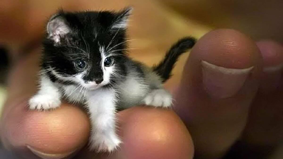 Карликовые кошки: названия, описание с фото кошечек самых маленьких пород