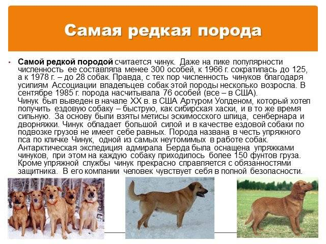 Малинуа собака. описание, особенности, уход и цена породы малинуа | sobakagav.ru