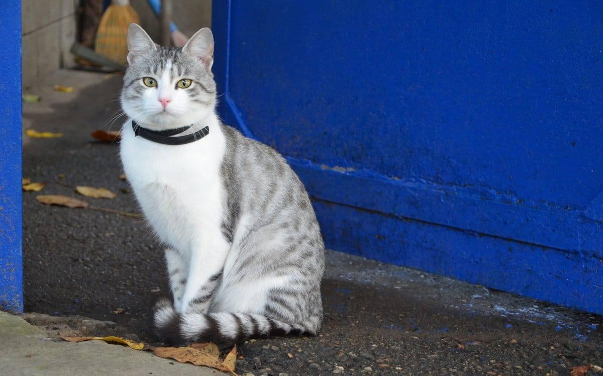 Аравийский мау: история появления и характеристика котов, их цена