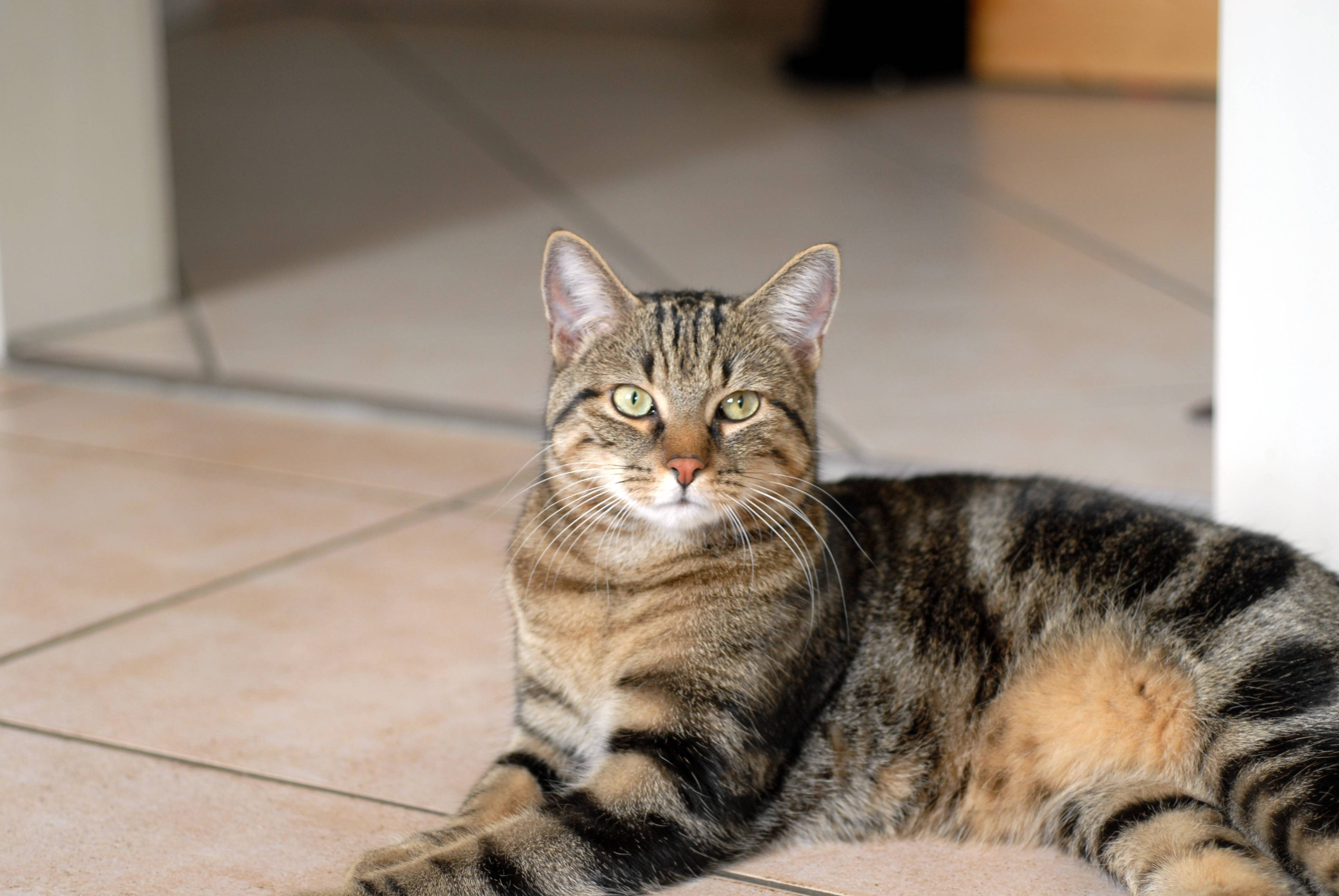 Европейская короткошерстная кошка (кельтская): фото,цены