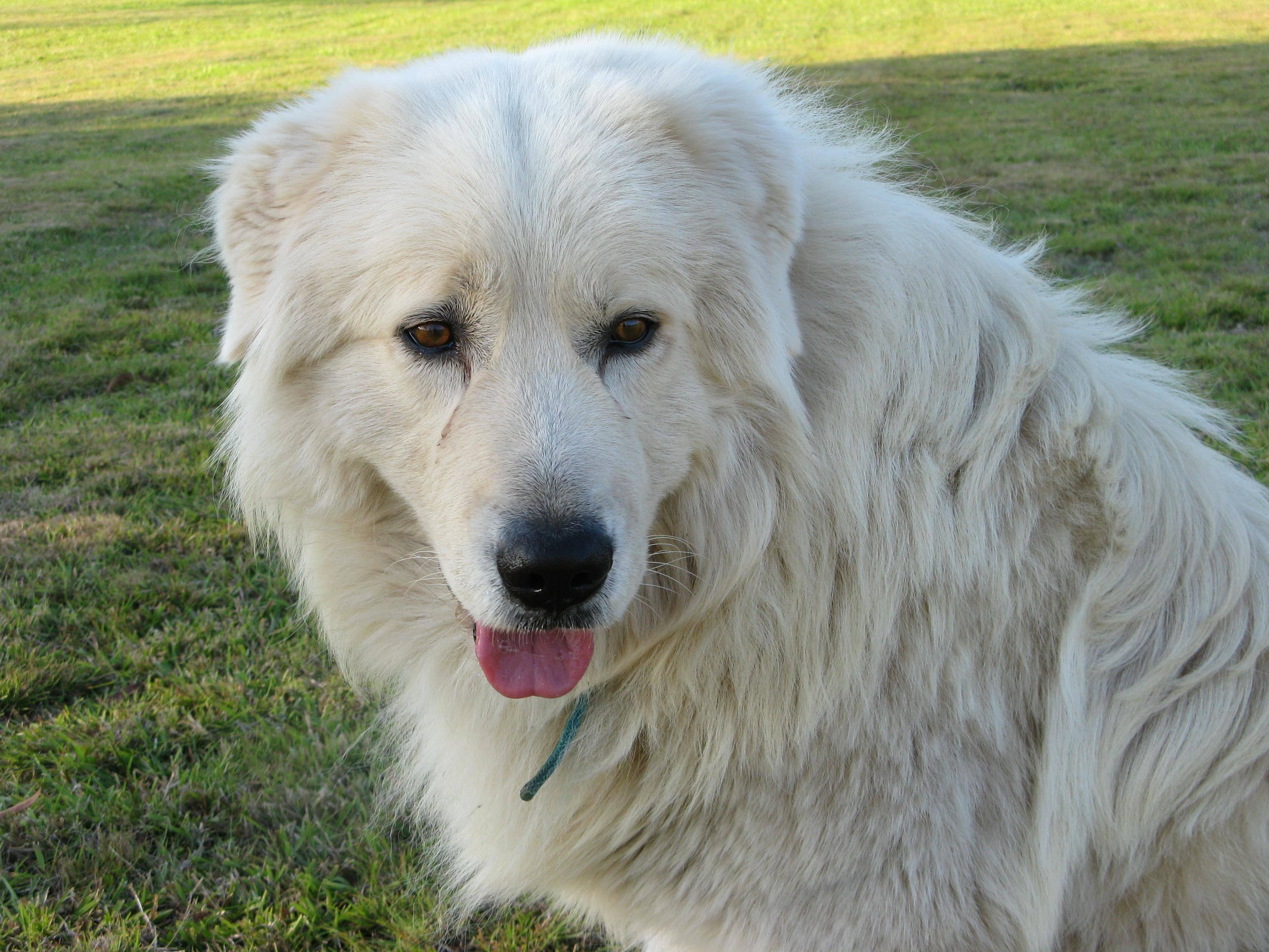 Маремма собака. описание, особенности, характер, виды, уход и цена мареммы