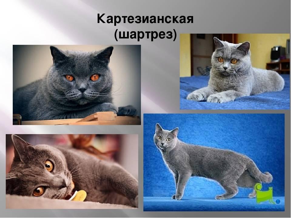 Норвежская лесная кошка: описание внешности и характера, уход за питомцем и его содержание, выбор котёнка, отзывы владельцев, фото кота