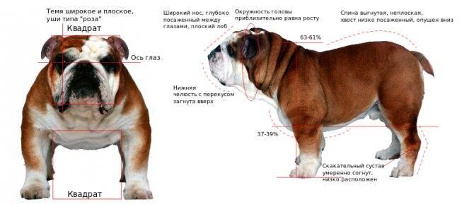 Характер и стандарт американского бульдога, разновидности породы