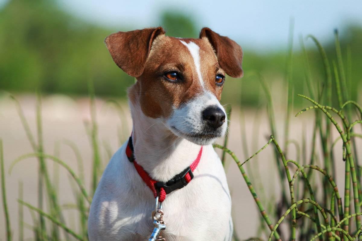 Джек рассел терьер — порода собак