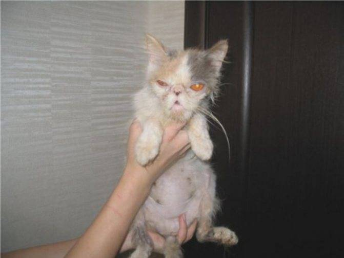 Прививка от чумки котенку (вакцинация кошек)