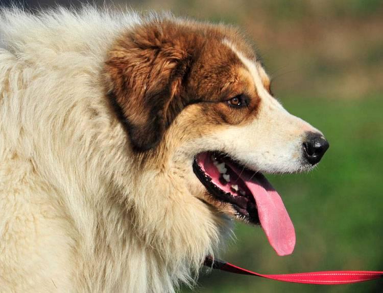 Бостон терьер собака. описание, особенности, уход и цена бостон терьера   sobakagav.ru