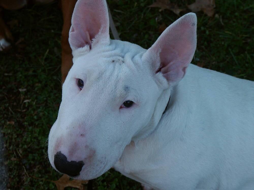 Подробное описание бойцовских собак: виды и воспитание бойцовых пород