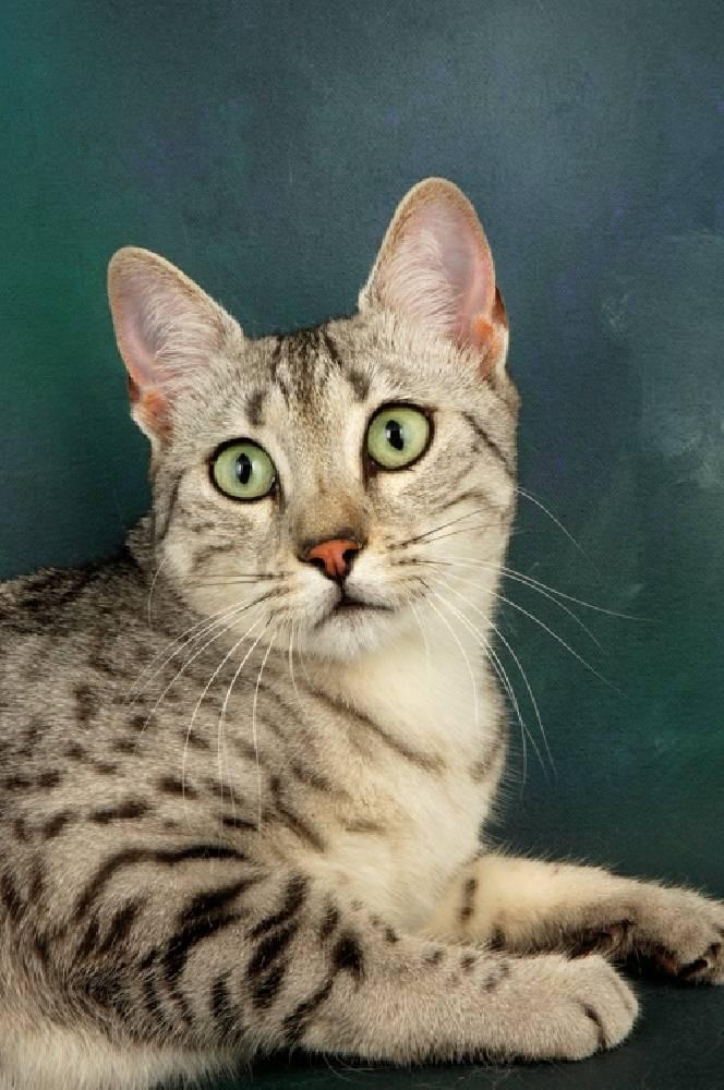 Внешний вид, характер и содержание египетской породы кошек