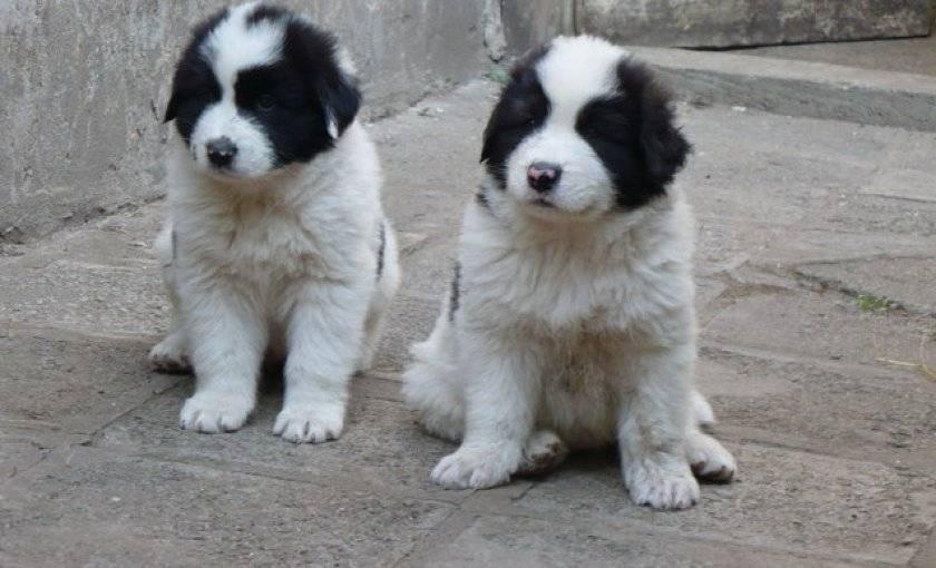 Каракачанская собака (болгарская овчарка): описание, стандарт и характер породы, цена, чем кормить и как ухаживать