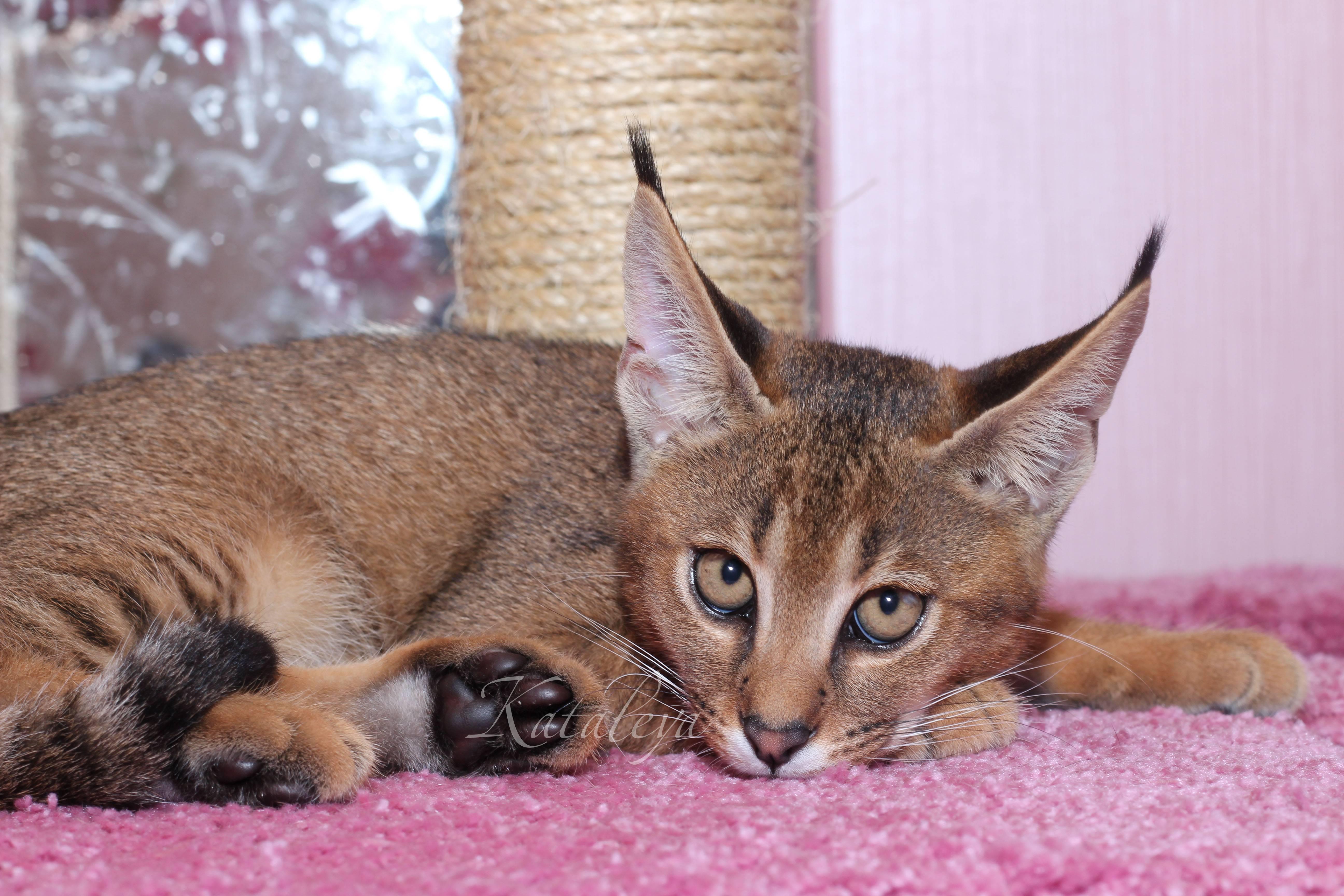 Кошки, похожие на рысь: особенности и популярные породы