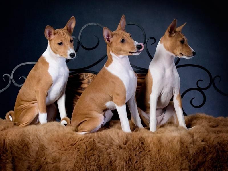 Собака которая не лает: порода молчаливых псов