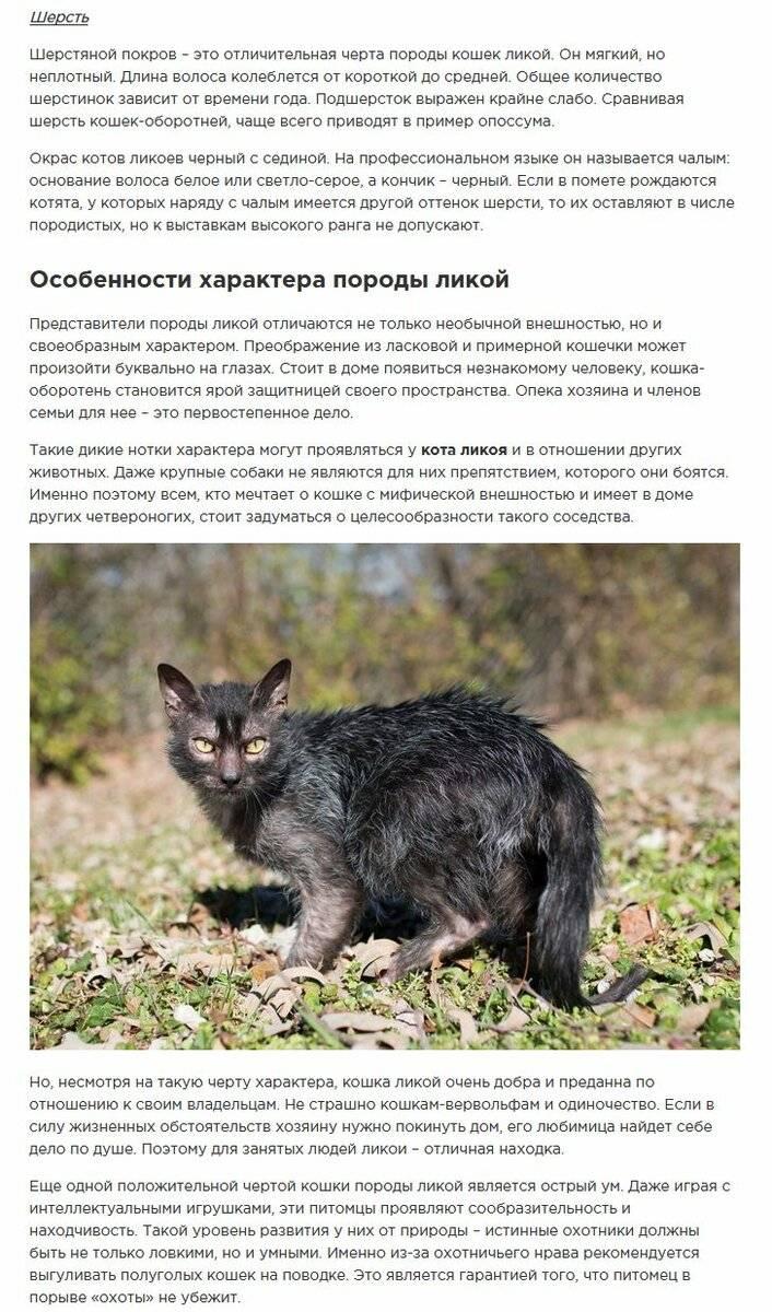 Внешний вид, особенности характера и содержание кошек породы ликой