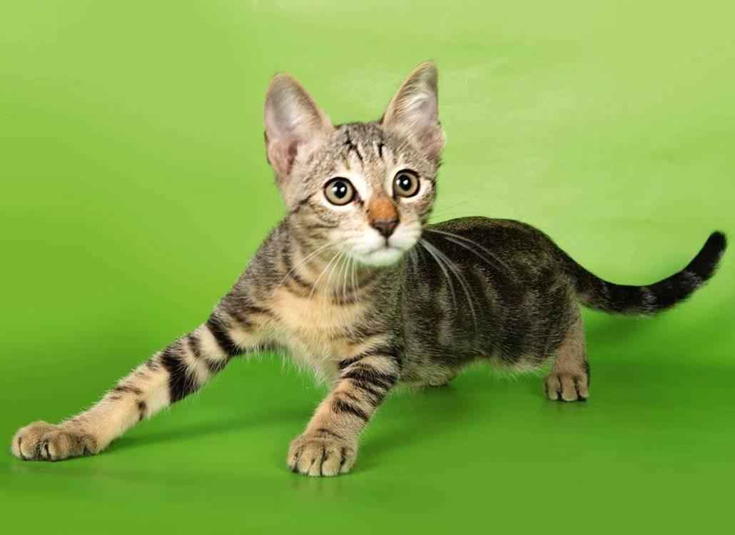Порода кошек сококе: фото, история, характер, здоровье, уход