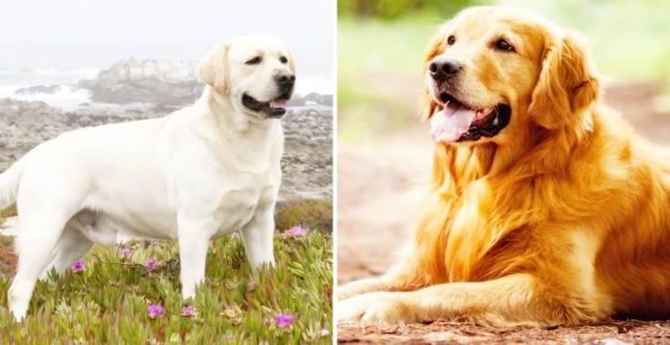Лабрадор ретривер - фото, окрасы: черный, шоколадный, палевый, особенности породы, щенки