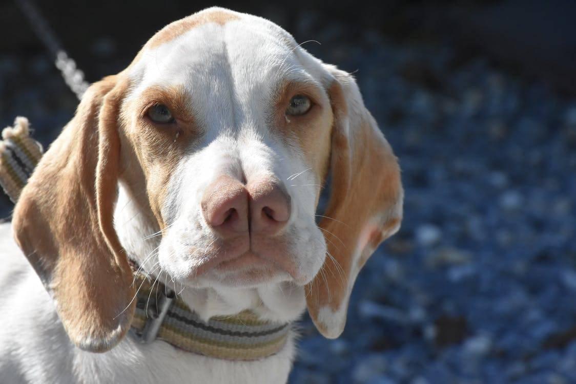Тайский риджбек (тдр): описание породы собак с фото и видео