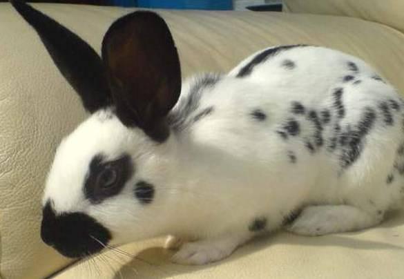 Кролики породы бабочка: особенности разведения и ухода