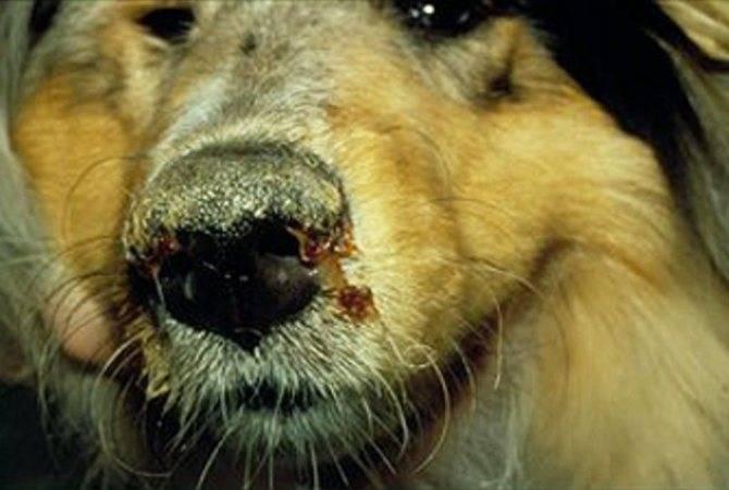 """Внутреннее кровотечение у собаки - симптомы, лечение в москве. ветеринарная клиника """"зоостатус"""""""
