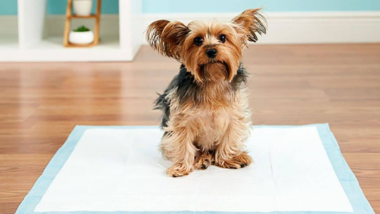 Как приучить щенка чихуахуа к лотку или пеленке. рекомендации по приучению чихуахуа к лотку или пелёнке как приучить взрослую собаку чихуахуа к пеленке - новая медицина