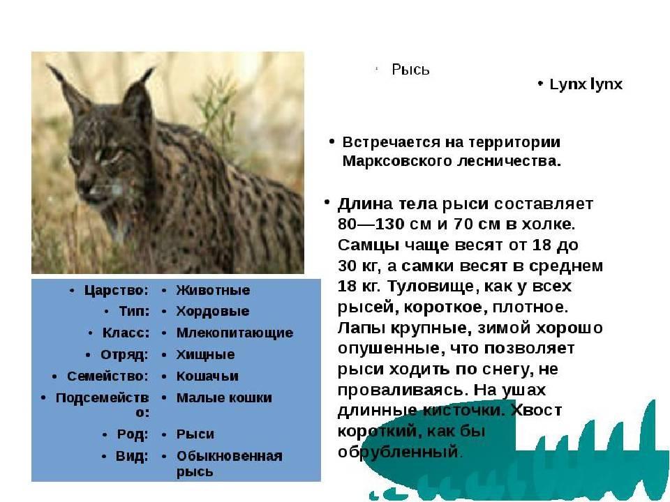 Пампасская кошка: описание животного. интересные сведения