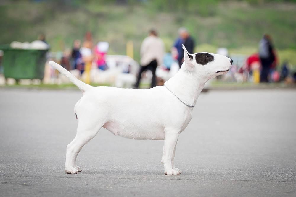 Бультерьер - 105 фото и видео описание породы. опасен или нет бойцовский пес?