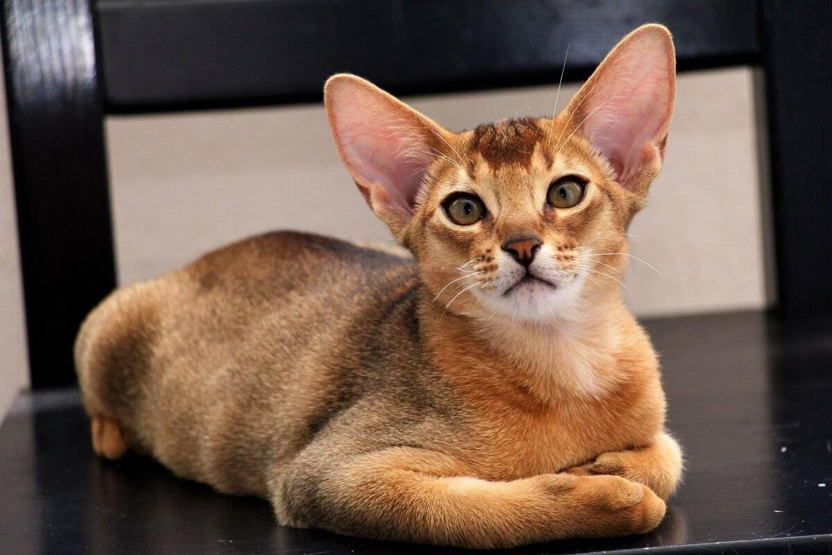 Названия большеглазых пород кошек, описание и фото котов с большими глазами