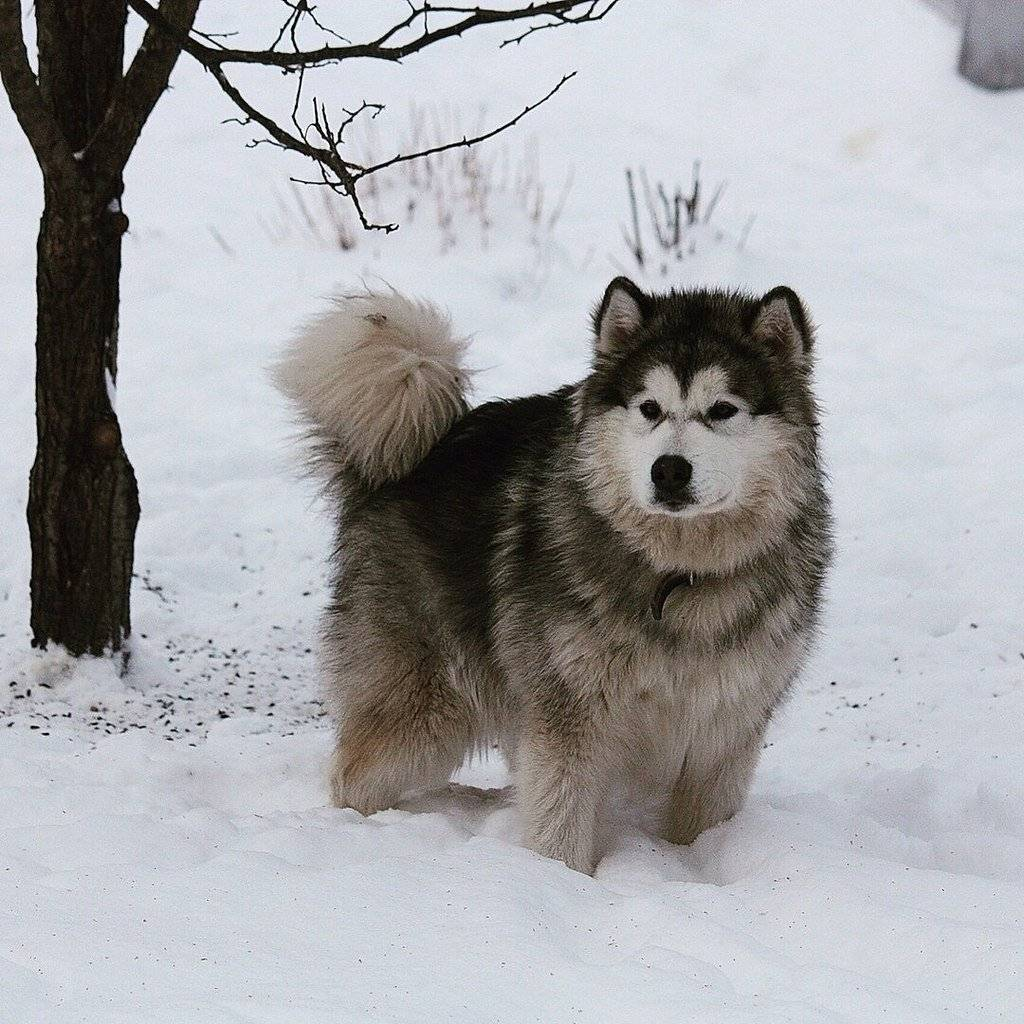 Порода собак аляскинский маламут: фото, цена, где купить порода собак аляскинский маламут: фото, цена, где купить