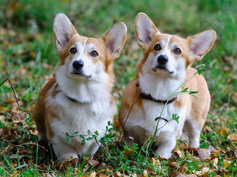 Корги уход - как ухаживать за собакой породы корги? | vseocorgi