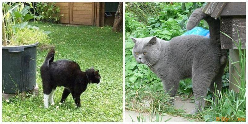 Как отучить кота метить территорию в квартире или доме: способы и средства - animallist.ru