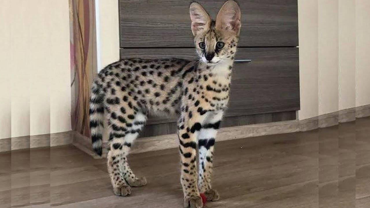 Африканский сервал. кошка одного хозяина