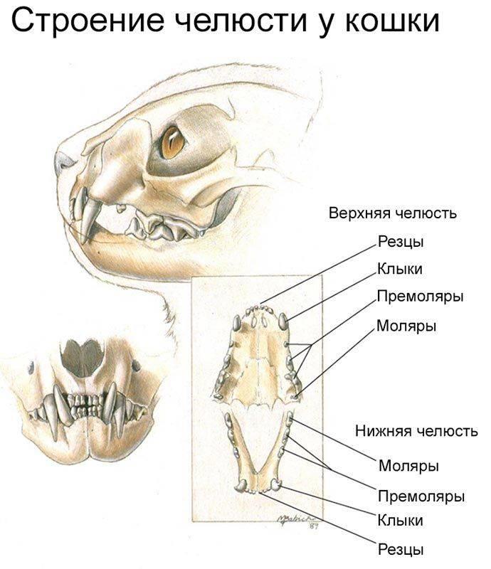 Смена молочных зубов у котят: возраст и симптомы, у кошек и котов