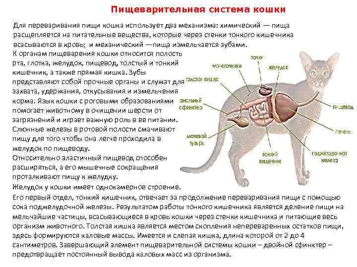 Строение лапы кошки - анатомия лапы - kotiko.ru
