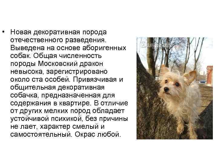 Интересное о московских овчарках: внешность и характер сторожевого пса