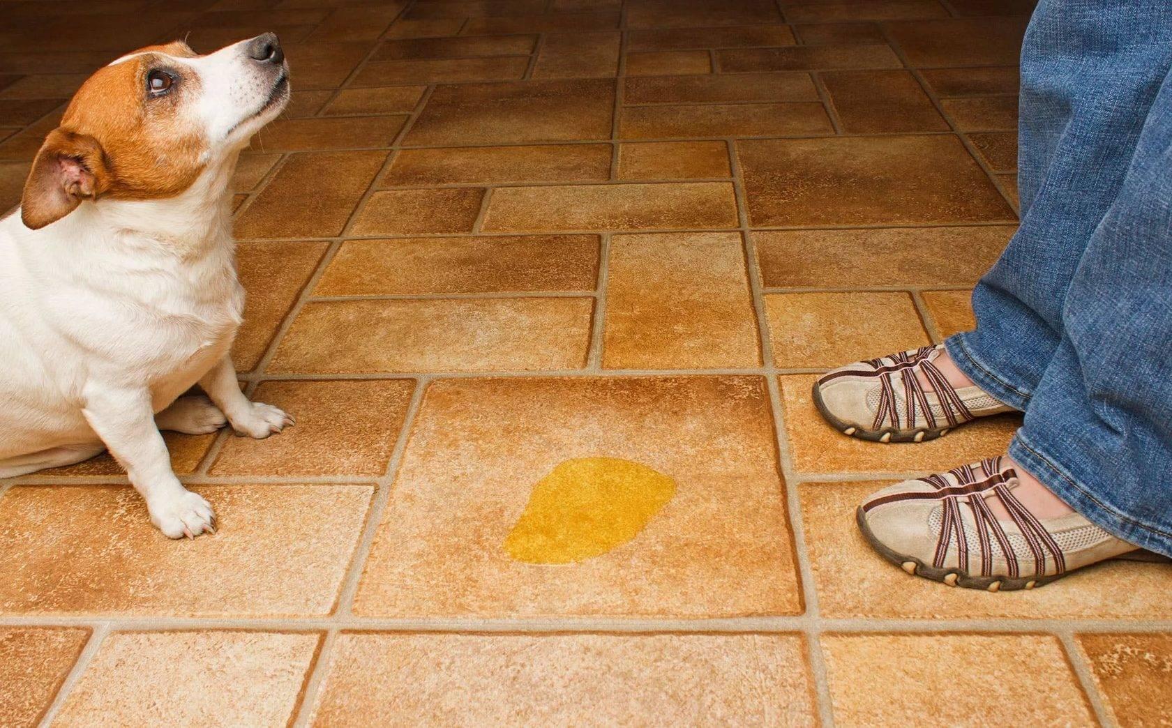 Кашель у собак: причины - симптомы - лечение