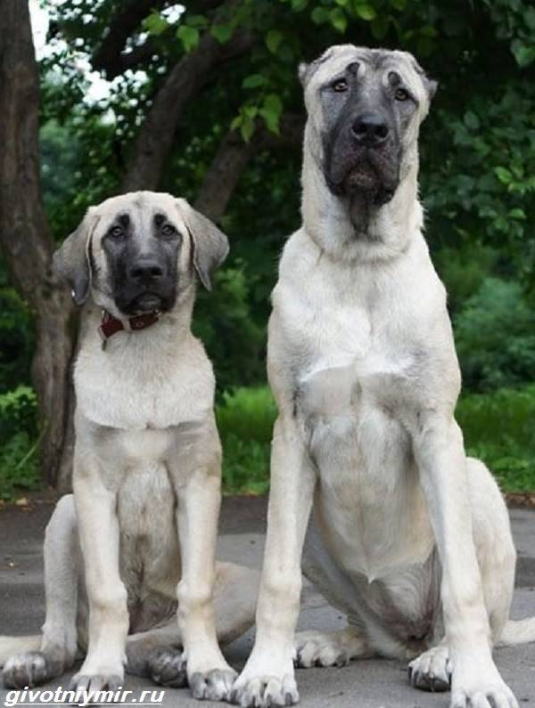 Собака кангал (анатолийская овчарка) - описание породы турецкий кангал (120 фото)